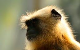 有灰色的叶猴Sunbath 库存图片