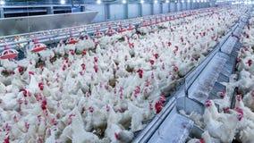 有烤焙用具交配动物者鸡的家禽场 库存照片