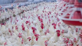 有烤焙用具交配动物者鸡的家禽场 库存图片