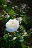 有照明设备的白玫瑰在被弄脏的背景在庭院里 库存照片