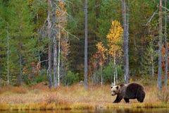 有熊的秋天森林 走在有秋天颜色的湖附近的美丽的棕熊 危险动物在自然森林和meado里 免版税图库摄影