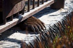 有爪的棕熊爪子 库存图片