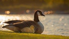有父母鹅的加拿大戈斯林 库存图片