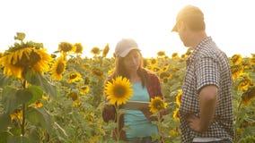 有片剂工作的男人和妇女农夫在领域用向日葵 农业的概念 农业学家和 影视素材