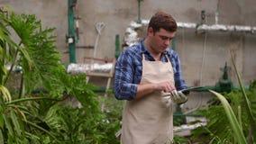 有片剂的农艺师人进行增长的植物的检查温室的并且投入显示 股票录像