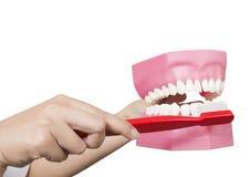 有牙模型的牙医手 免版税库存照片
