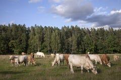 有牛的全景 免版税库存照片