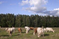 有牛的全景 库存照片