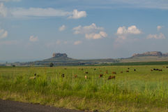 有牛的在Clarens附近,自由州,南非草甸 免版税库存照片