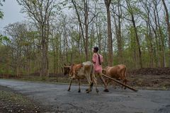 有牛车的农夫在dandeli森林公路 图库摄影