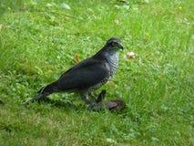 有牺牲者的-鹰类nisus男性欧亚混血人Sparrowhawk 库存图片