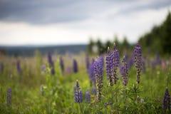 有狂放的开花的羽扇豆属polyphyllus的草甸 库存图片