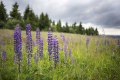 有狂放的开花的羽扇豆属polyphyllus的草甸 免版税库存照片