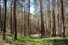 有狂放的莓果树的杉木森林 库存图片