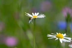 有狂放的领域的夏天五颜六色的绿色草甸开花,季节性b 免版税库存照片