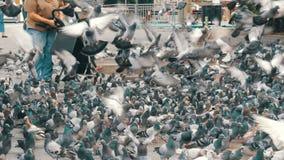 有独轮车和大黑袋子的一名妇女在巴塞罗那喂养城市鸽子 股票录像