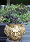 有狮子的花瓶在佛教寺庙朝向 免版税库存图片