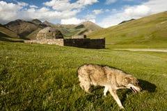 有狼的塔什拉巴特 免版税图库摄影