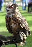 有猫头鹰的以鹰狩猎者在训练手套 免版税库存照片