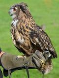 有猫头鹰训练手套的以鹰狩猎者 库存图片