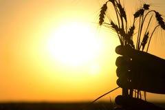 有玉米穗的手 免版税库存照片