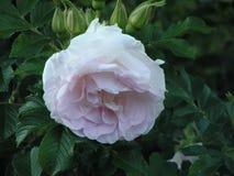 ? ?? ? 有玫瑰的布什 在落日的光芒的风景地区 免版税图库摄影