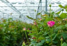 有玫瑰的温室 免版税库存图片
