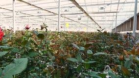 有玫瑰色花的温室 股票录像