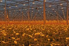 有现代大丁草庄稼的荷兰温室在growthlight下 库存图片