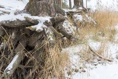 有生长在倾斜的粗糙的根的松树被暴露在土壤侵蚀 生态学问题 图库摄影