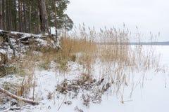 有生长在倾斜的粗糙的根的松树被暴露在土壤侵蚀 生态学问题 免版税库存图片