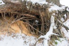 有生长在倾斜的粗糙的根的松树被暴露在土壤侵蚀 生态学问题 免版税库存照片