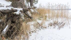 有生长在倾斜的粗糙的根的松树被暴露在土壤侵蚀 生态学问题 库存图片