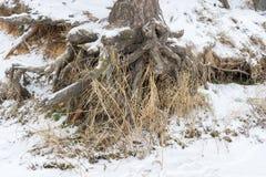 有生长在倾斜的粗糙的根的松树被暴露在土壤侵蚀 生态学问题 库存照片