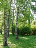 有生长在树荫下的软的草的绿色草坪在白桦一个小树丛里  图库摄影
