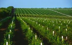 有生长在蓝天下的葡萄行的葡萄园  免版税库存图片