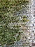 有生长对此的青苔的砖墙 免版税图库摄影