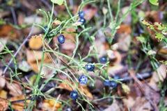 有用森林的莓果 在草中 免版税库存照片