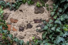 有用绿色常春藤盖的色的石头的老破裂的墙壁 免版税图库摄影