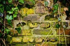 有由常春藤做的框架的墙壁 库存图片
