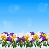 有番红花白色和黄色花的草坪  库存照片