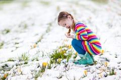 有番红花的小女孩在春天开花在雪下 免版税库存图片