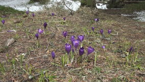 有番红花耕地美丽的紫罗兰色花  股票录像