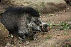 有疣猪的比萨扬人 图库摄影