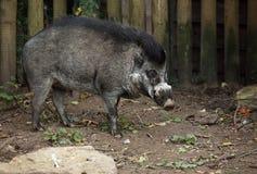 有疣猪的比萨扬人 免版税库存图片
