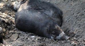 有疣猪的比萨扬人 免版税图库摄影