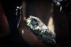 有疣的雨蛙 免版税库存照片