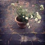 有白玫瑰的陶瓷罐 库存图片