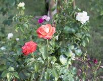 有白色和桃红色花的玫瑰丛 库存照片