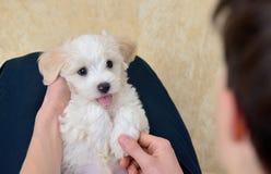 有白色小狗马耳他狗的青少年的男孩 库存图片